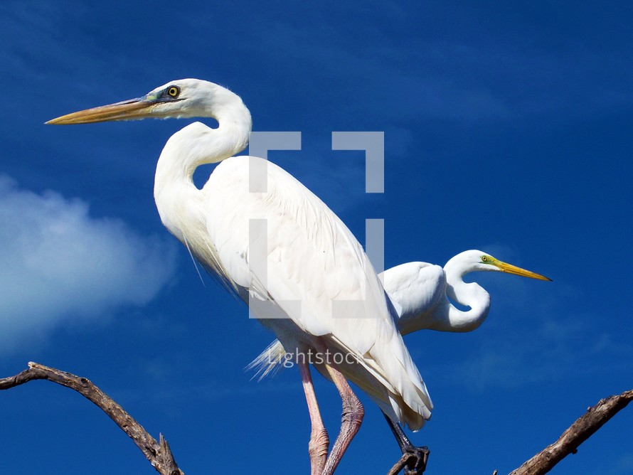 A couple of Egret Birds sitting on the branches of a tree against a sky blue background in their native habitat in Key West, Florida.