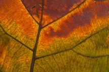 Fall leaf vein. Autumn, orange.