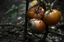 rotten tomatoes.  rotten, gone, waste, Job, fading, wasting, away, bad, fruit, famine, weep, wail, poor, rich, misery, corroded, corrosion, fade, fleeting, brittle, perishable, end, ephemeral, foul, putrid, decayed, decay, dissolve, rot, rotting, decompose, garden, tomato, tomatoes, organic, nature, natural, time, temporal, seasonal, temporally, temporary, perishability, evanescence, transience, mortality, mortal, transitoriness, transiency, withered, dead, wilted, vanish, go by, pass, cease, die, dust, impermanence, wither, overblown, mortally, noneternal, autumn, fall, autumnal, sorrow, pain, grief, mourning, sorrowful, mourn, Job 13, earth