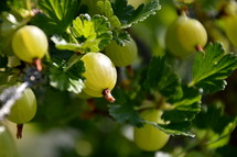 gooseberries at the bush,  gooseberries, bush, gooseberry, harvest, ripe, crop, harvesting, blessing, provided, providing, provide, creation, food, nature, plant, fruit, fruits, thorn, thorns, nourishment, garden, gardening