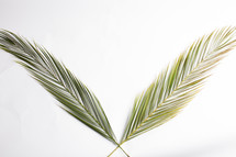 crossing Palm fronds against a white background