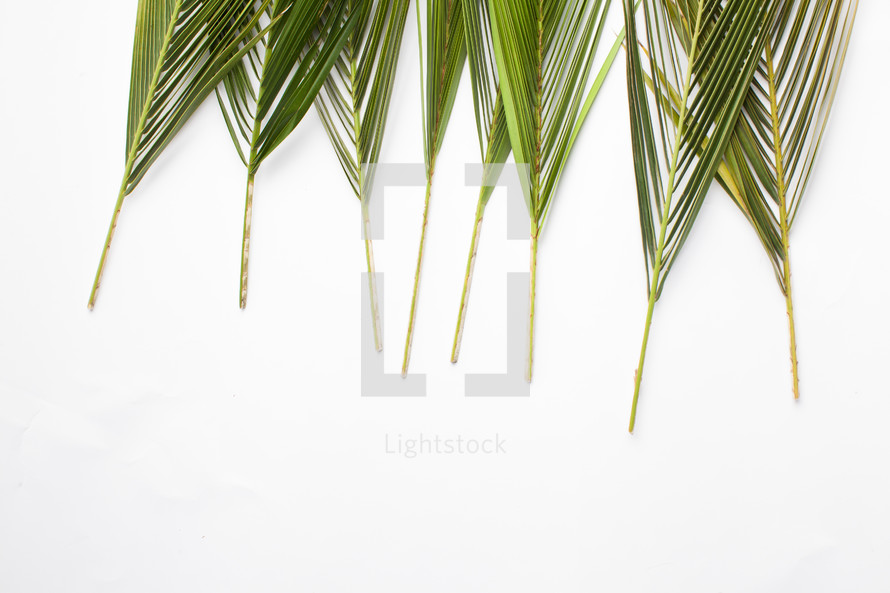 border of Palm fronds against a white background