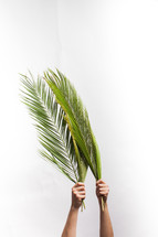 hands holding up Palm fronds against a white background