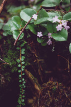 small pink flowers on the forest floor