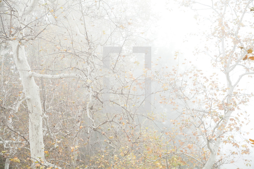 foggy foret