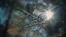 sunlight through pine branches