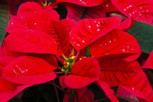 Red poinsettia leaves.