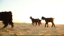 goats in a desert