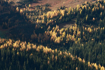 Autumn larch trees