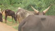 oxen in Uganda