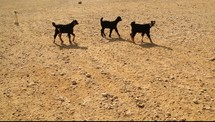 Goats walking in a desert.