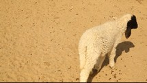 A goat walking and running over barren ground.