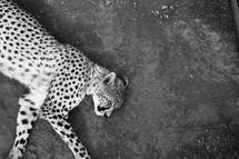 Sleeping cheeta