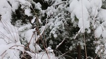 Snow on bushes and tree outdoors