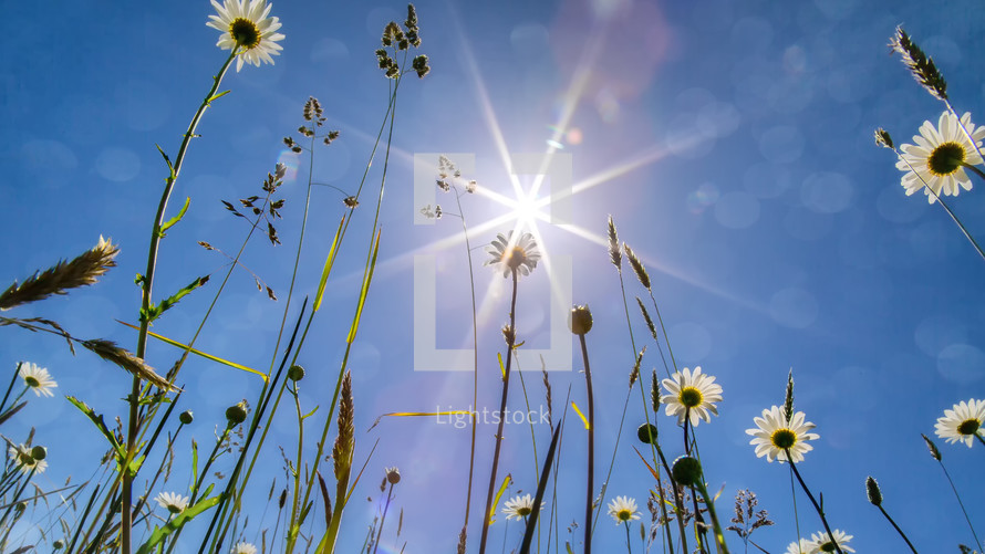 sunburst over a field of daisies