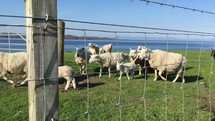 flock of sheep in Scotland