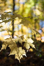 yellow fall leaves in a forest