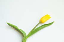 a yellow tulip