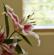 pink and white star gazer lily