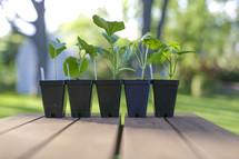 seedlings in pots on a deck