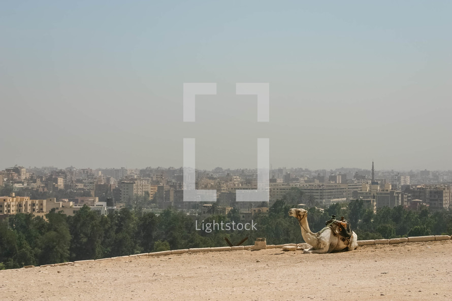 resting camel and view of an Egyptian city