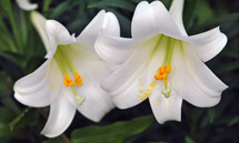 Two white Easter lilies; closeup.