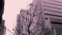 grackles in a winter tree in a city