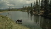 Timelapse of a moose drinking lake water in the mountains.