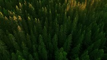 a drone view over a pine forest