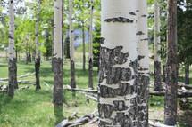 white bark on tree trunks