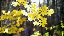 yellow fall leaves on a tree