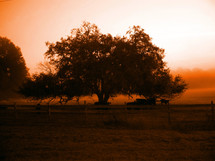 A large oak tree in a meadow provides shade, protection and safety for a group of cattle and cows in the early morning at dusk as the sun begins to provide a warm orange glow in the sky.