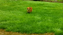 a dog running in grass