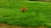 small dog running in green grass