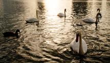 swans and ducks on lake Eola