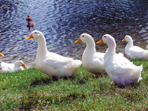 Ducks in a row - a Group of white Pekin Ducks in a row at a nearby pond in a grassy field on a sunny beautiful day enjoying some fresh air and sunshine together.