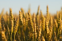 Ripe wheat ready for harvest