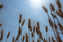 wheat grains closeup in a field