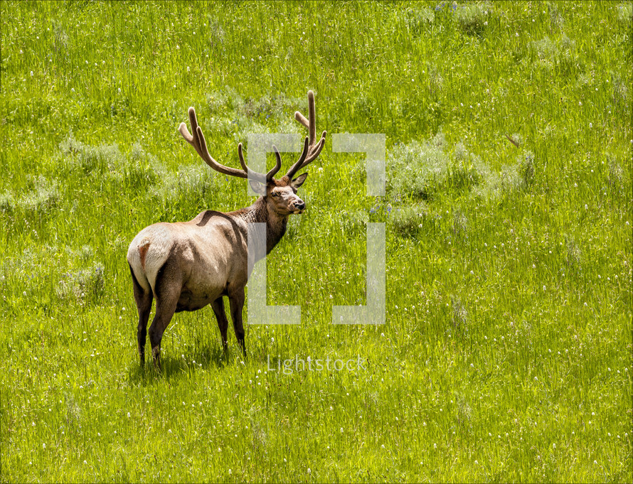 elk in a meadow