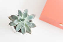 succulent plant on a desk
