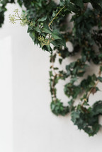 Green ivy growing on a white wall.