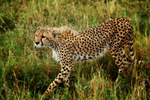 Cheetah stalking its prey
