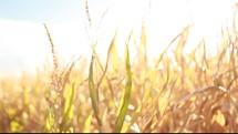 corn blowing in a corn field maze
