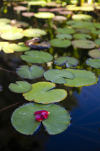 lily pad on a pond