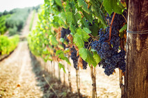 grapes on the vine g