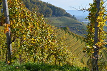 vineyard in the bright colors of autumn. 