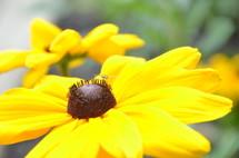 black eyed Susan yellow flower