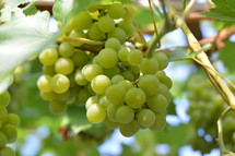 vines with fruits.  vines, vineyard, vine, tendril, leaf, leaves, tendril of vine, vine stock, branch, branches, hold, hold on, clutch, hang on, stay, remain, dwell, continue, keep, grow, growth, growing, fruit, fructiferous, fruit setting, bear, yield, grapes, grape, acreage, vineyard cultivation, cultivation, harvest, harvesting, rich, vintner, winegrower, wine grower, nature, natural, plant, plants, outdoor, fruits, ripe, mellow, mellowly, autumn, fall, crop, green, summer, outdoors, creation, sweet