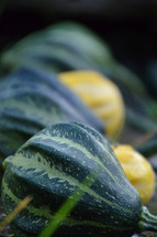 row of fall gourds.  row, fall, autumn, gourds, yellow, green, thanksgiving, harvest, thanks, fruits, fruit, first, firstfruit, crops, field, festival, vegetable, vegetables, greenstuff, crop, yield, harvesting, rich, bountiful, plentiful, plenty, bounteous, gather, reap, bring in, produce, abundant, abundance, present, thanks giving, harvest festival, November, pumpkin, garden, gardening, decorated, decoration, decorating, food, eat, eating, groceries, grocery, nourishments, nourishment, biological, organic, biologic, biologically, gourd