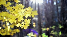 yellow maple leaves on a fall tree